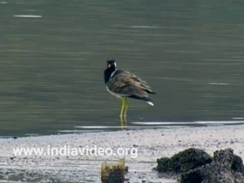 Red Wattled Lapwing or Vanellus indicus