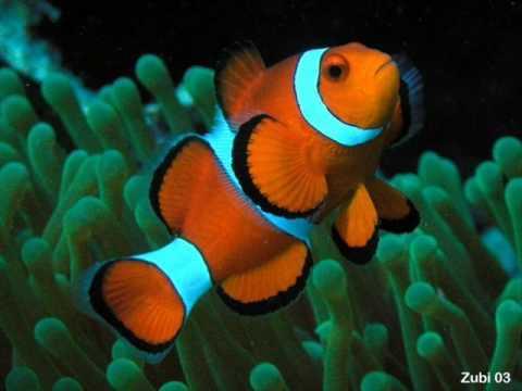 Nemo ist ein Salzwasser fisch (with lyrics)