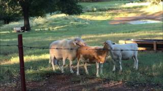 Sheep Breeding On The Homestead ~ Makin' Mutton