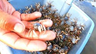 大海退潮后,渔夫赶海发现成群的和尚蟹,多到数不清