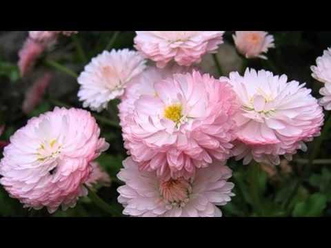 Легенды о цветах  Маргаритка   цветок рыцарей и гаданий