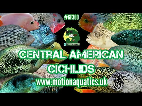 Repeat Synspilum + spotted Synspilum cichlids by
