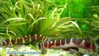 Акантафтальмус - аквариумные рыбы купить