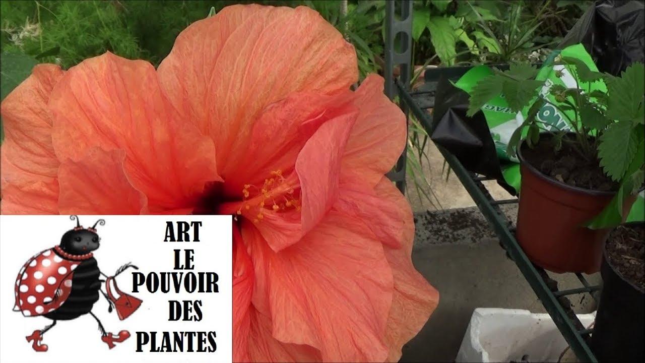Etoile De Noel Plante Exterieur conseil jardinage: entretien et arrosage: hibiscus rosa sinensis: plante  verte d'intérieur