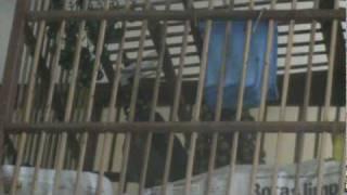 JILGUERO DE SAN MARCOS ( SANTA RITA ) SALUDOS DESDE POAS