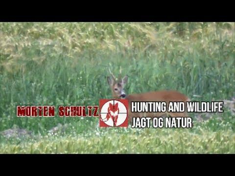 Download Bukkejagt 2017 episode 3 - Buk i sidste minut./Hunting roe buck.