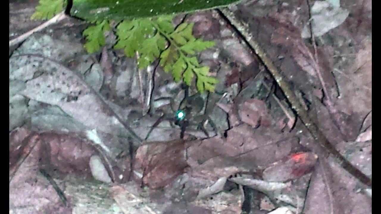 Wolf spider eyes glow - photo#1