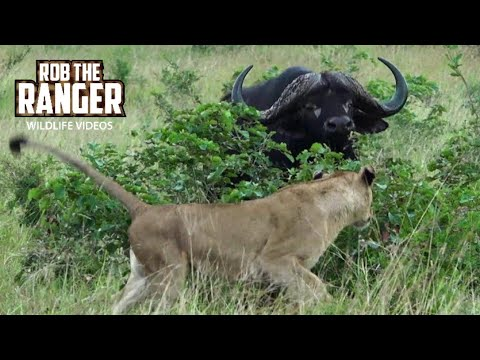 Lionesses Take On An African Buffalo Herd!!! (Introduced By Sheldon Zam)