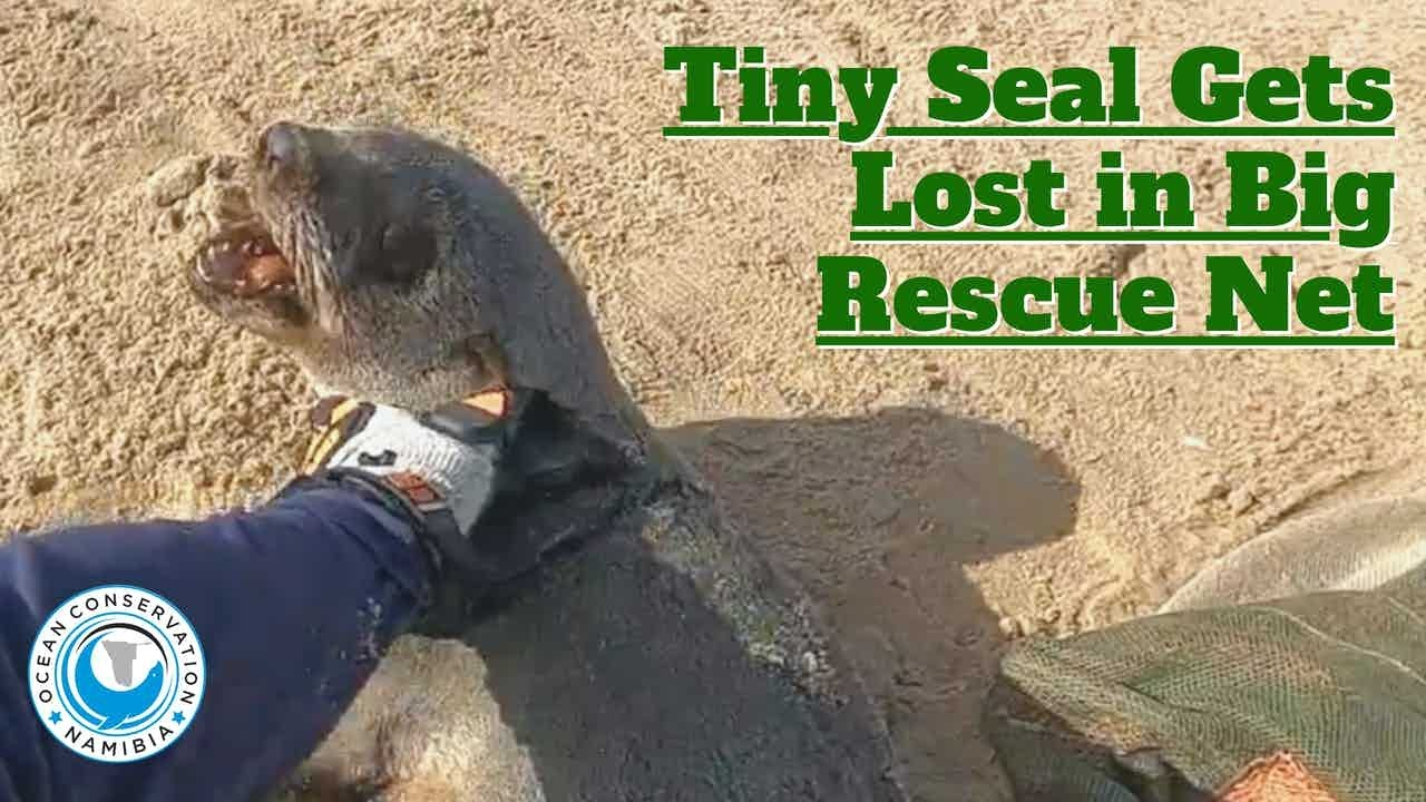 Tiny Seal Gets Lost In Rescue Net