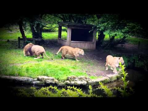 Barbary Lions Feeding Time @ Belfast Zoo