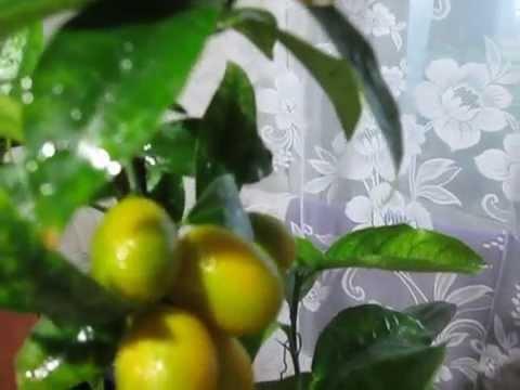 Кумкват Маргарита,декабрьский урожай в Харькове