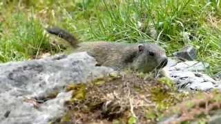 Un bébé marmotte explore son territoire - Artiga de Lin - Val d'Aran - Espagne