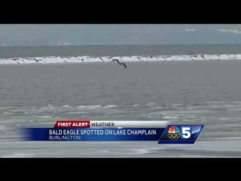 Bald eagle spotted on Burlington waterfront