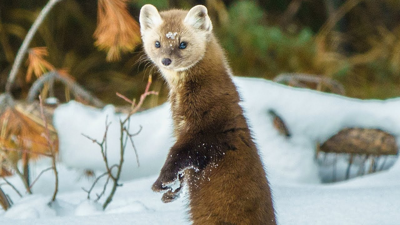 Pine Marten Hunting In The Canadian Rockies Youtube