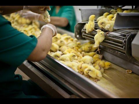 Indagine sulla crudeltà degli incubatoi industriali di pollo