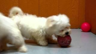 Maltese, Puppies, For, Sale, In, San Jose, California, Ca, Ontario, Santa Rosa, Rancho Cucamonga
