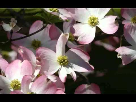 Picture of pink dogwood flower