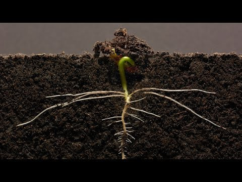Bean Time-Lapse - 25 days | Soil cross section from YouTube · Duration:  3 minutes 10 seconds