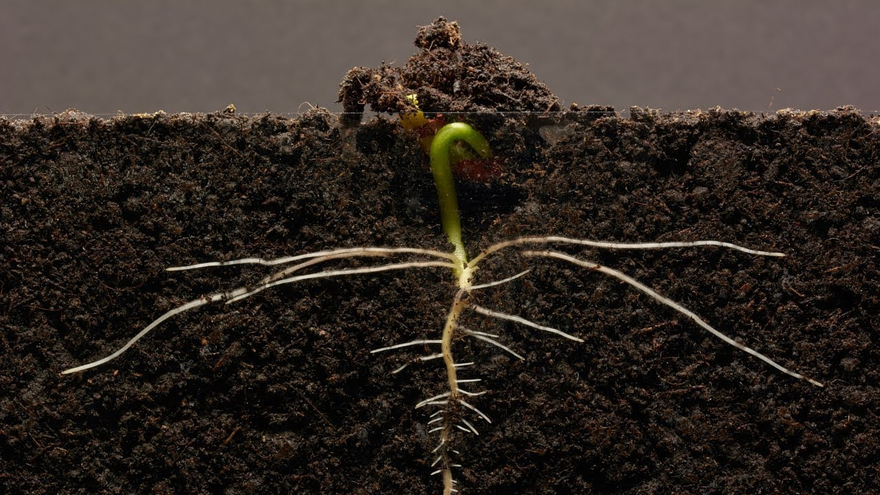 Bean Time-Lapse - 25 days | Soil cross section #1