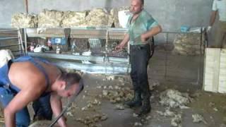 lacaune los francos esquilando ovejas