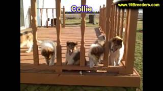 Collie, Puppies, For, Sale, In, South Bend, Indiana, County, In, Allen, Hamilton, St  Joseph, Vander