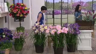 Cottage Farms 3-piece Perennial Giant Japanese Iris on QVC
