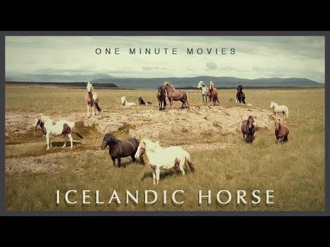 One Minute Movies: Icelandic Horses of Fellsstrond, Iceland in HD