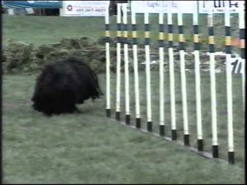 Puli completing agility course