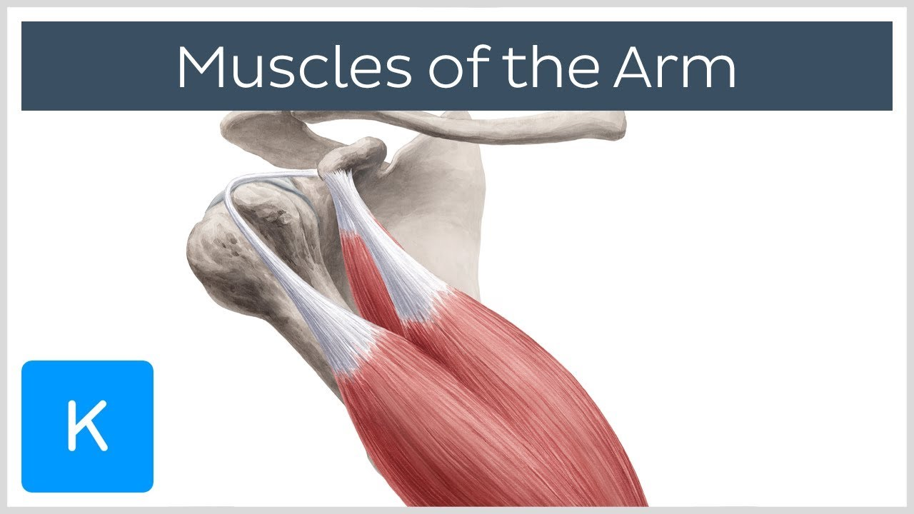 Download Muscles of the arm - Origin, Insertion & Innervation -  Human Anatomy | Kenhub