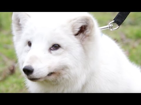 Archer the arctic fox