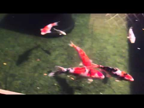 Koi pond crystal clear water youtube for How to make koi pond water clear