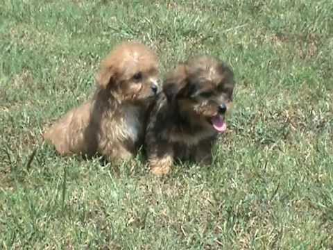 Morkie Puppies, Morkie Puppies For Sale, Teacup Morkie Puppies