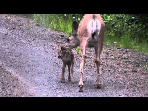 Doe and Newborn Baby Fawn.MTS