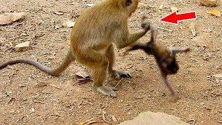 The most pitiful baby monkey Daniela got  hurt every day