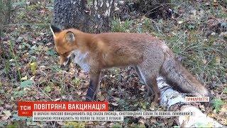 Лисиць, єнотовидних собак і вовків у всій Україні масово вакцинують від сказу