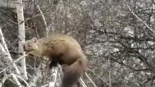 Жильцы дома на улице Никитина 68 заметили лесную куницу