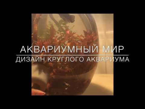 Дизайн круглого аквариума // Аквариумный мир // рыбка Петушок