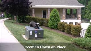 """1.5yo Pitbull Mix """"freeman"""" Before And After Video - Dog Training Raleigh Durham"""