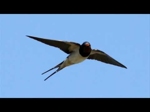 صوت طائر السنونو Youtube