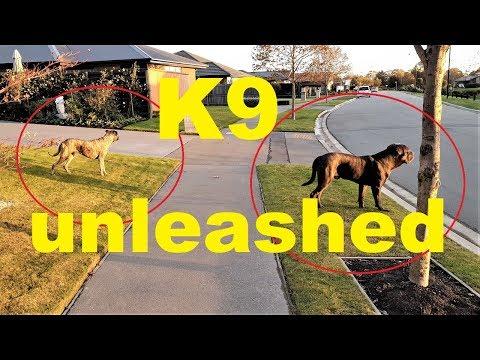 CANE CORSO 'BEST GUARD DOG' OFF LEASH TRAINING