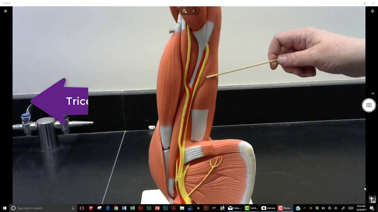 muscles of the arm anatomical model - YouTube