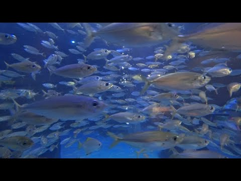 The Lost Chambers Aquarium Dubai  – 4 minutes of relaxation