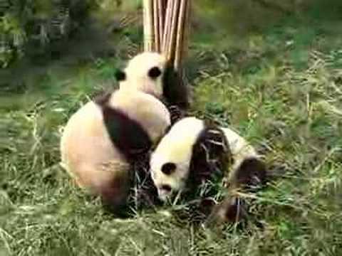 Giant Pandas fighting over bamboo - YouTube