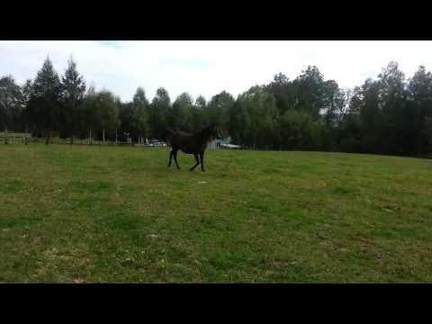 Konie Arabskie Dynów 3