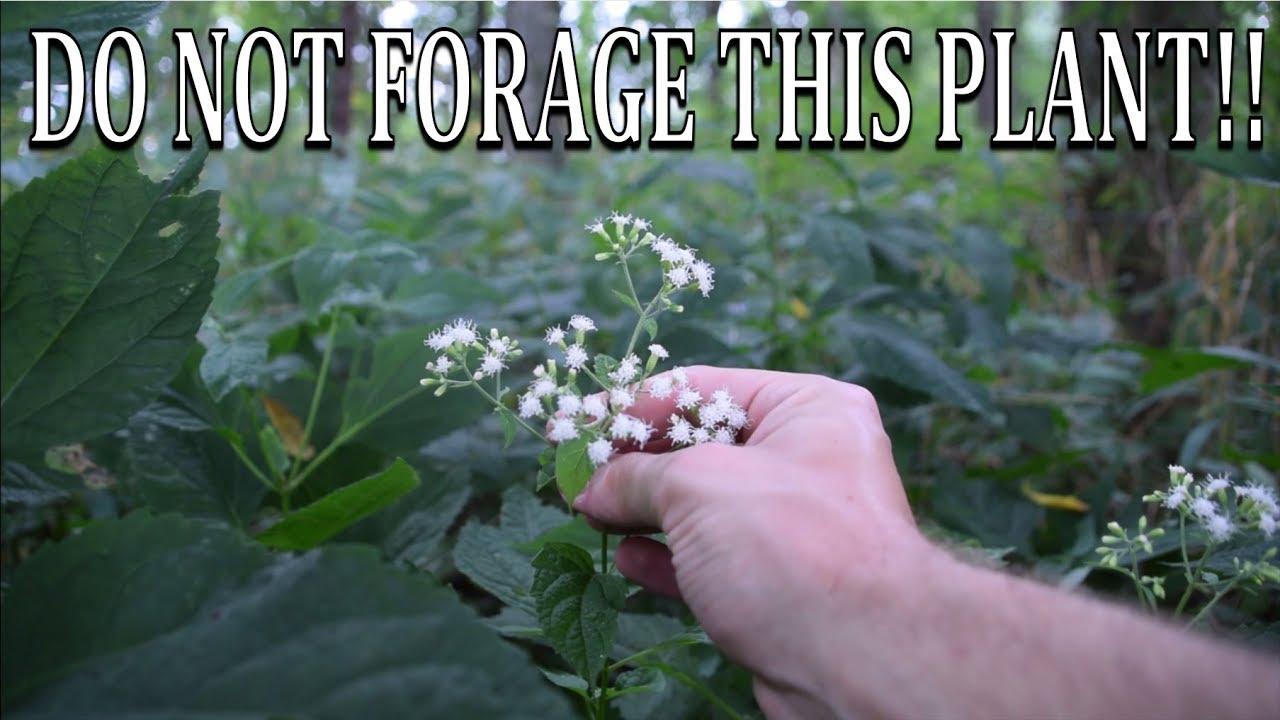 Do Not Forage This Plant White Snakeroot And Boneset Comparison Youtube
