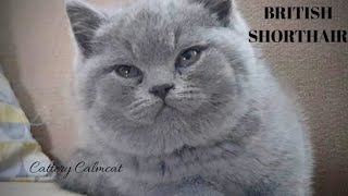 British Shorthair. Last one my evening with Jeremy- *cattery Calmcat