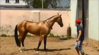 Akhal-teke stallion Diger