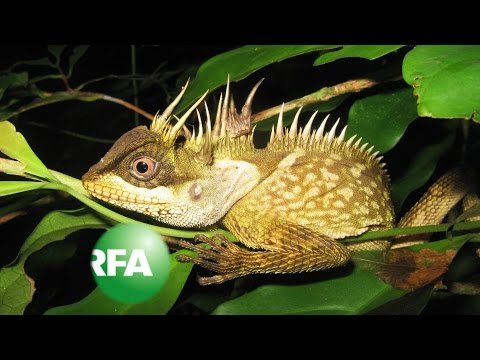 Rainbow Snake, Tiny Frog Among New Mekong Species | Radio Free Asia (RFA)