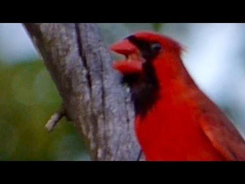 Song of the Cardinal