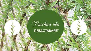 Русская ива. Мастер-класс по плетению живого дерева из ивы.